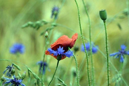 Poppy, Poppies, Cornflowers, Red, Flower, Summer