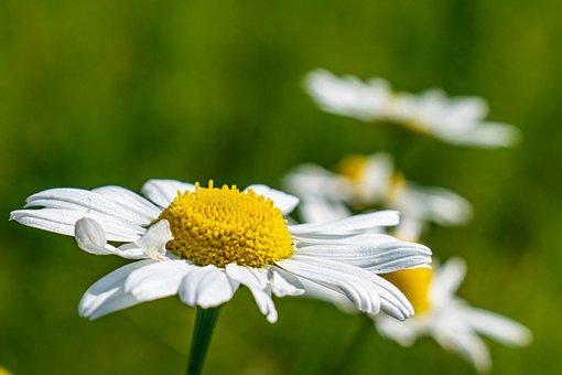 Margarite, Nature, Spring, White Blossom, Daisies