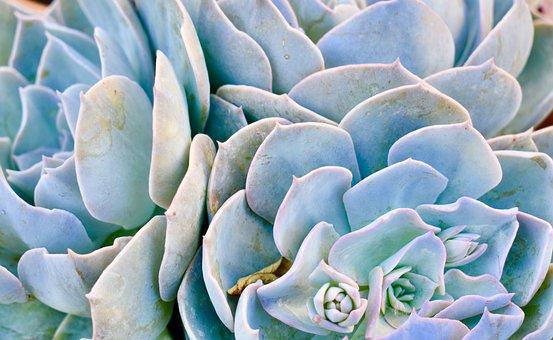 Succulent, Flower, Cactus, Plant, Nature, Garden, Green