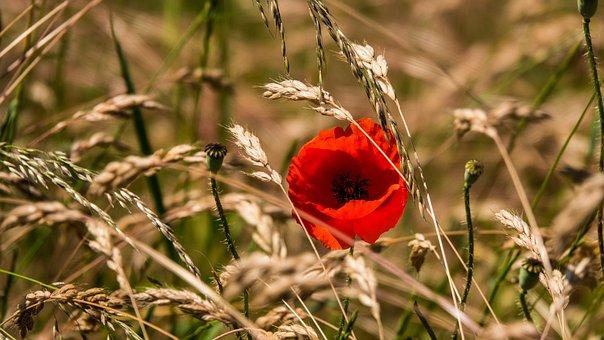 Poppy, Grain Field, Summer, Sun, Flower, Nature, Bloom