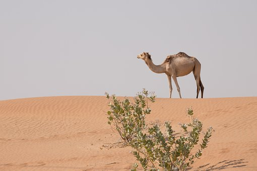 Camel, Animal, Desert, Dubai, Uae