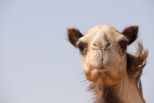 Camel, Animal, Dubai, Uae, Emirates, Closeup, Portrait