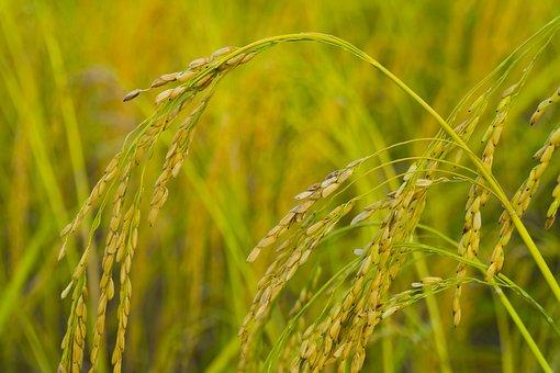 Rice, Farm, Agriculture, Plant, Nature