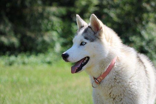 Husky, Siberian Husky, Dog, Pet