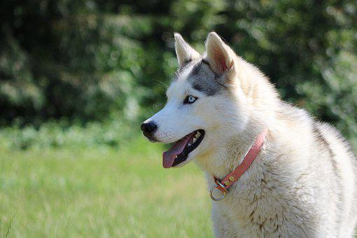 Husky, Siberian Husky, Dog, Pet, Siberian, Race
