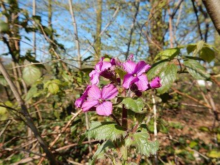 Dame's Violet, Lunaria, Forest, Flowers, Purple, April