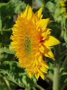 Zonebloem, Macro, Flower, Nature