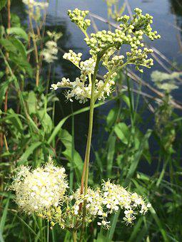 Meadowsweet, Plant, Wild Plant, Bach, Nature, Flower