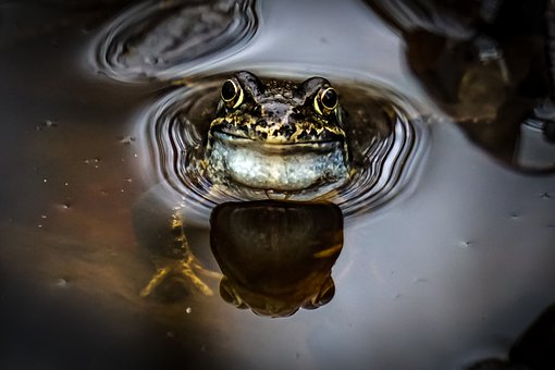Frog, Water, Pond, Animal, Nature
