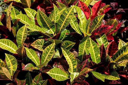 Foliage, Leaves, Variegated, Shrub, Croton