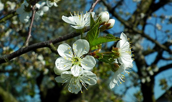Cherry, Flowers, Spring, Nature, Tree, Garden, The Buds