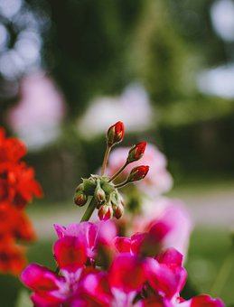 Geranium, Flower, Red, Nature, Plant, Bud, Flora