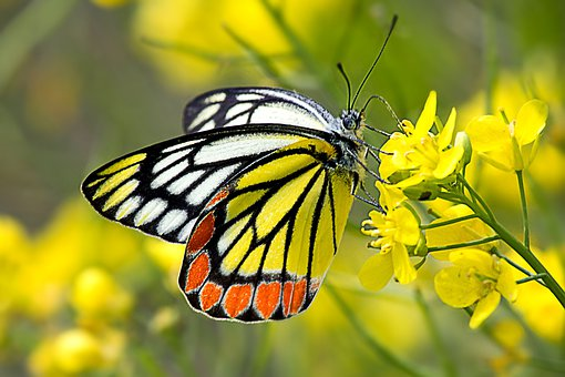 Common Jezebel, Butterfly, Insect, Yellow, Red, Orange