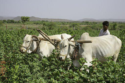 Farmer, Bullock, Cart, India, Mohan