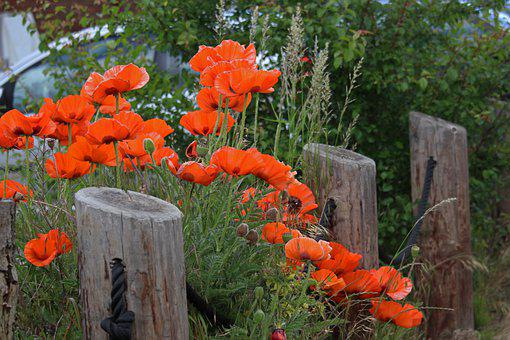 Poppies, Garden Fence, Village, Rural, Farmhouse