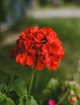 Geranium, Flower, Red, Nature, Plant, Flora, Flowers