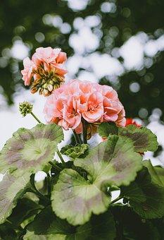 Geranium, Flower, Pink, Nature, Plant, Flora, Flowers