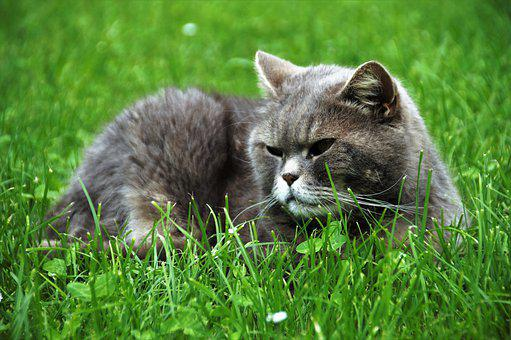 Cat, British, Blue, Home, Pet, Tomcat, Grass, Large