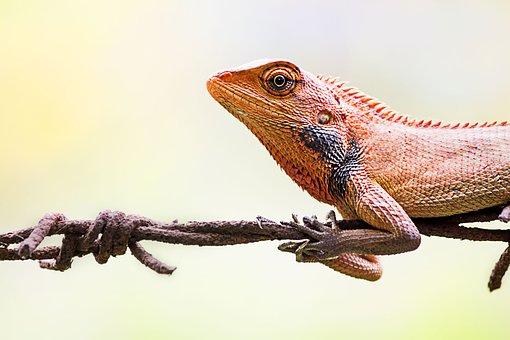 Oriental Garden Lizard, Lizard, Wildlife, Nature