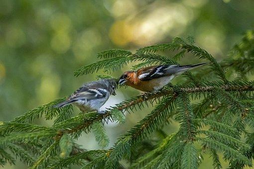 Common Chaffinch, Fringilla Coelebs, Bird, Nature