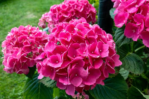 Hydrangea, Flowers, Petals, Nature, Colorful, Pink