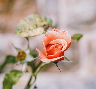 Rose, Orange, Roses, Petals, Fragrance, Romance