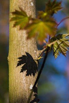 Shadow, Deciduous Tree, Leaf, Light, Tribe, Shadow Play