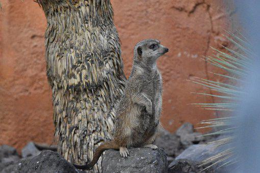 Animal, Suricate, Nature, Cute, Zoo, Mammals, Animals