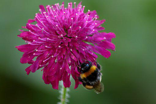 Knautia Macedonica, Beemdkroon, Bumblebee, Flower