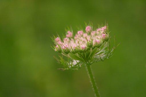 Wild Carrot, Daucus Carota Subsp, Carota, Blossom