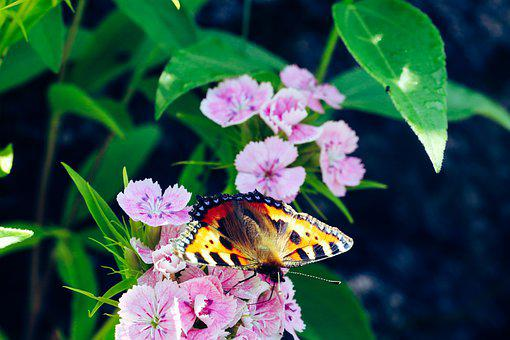 Butterfly, Insect, Wings, Nature, Summer, Flower