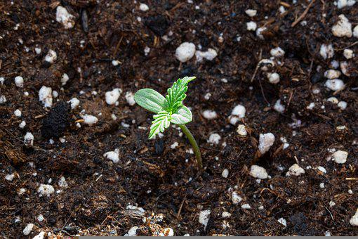 Cannabis, Seedling, Marijuana, Leaf, Ground, Growth