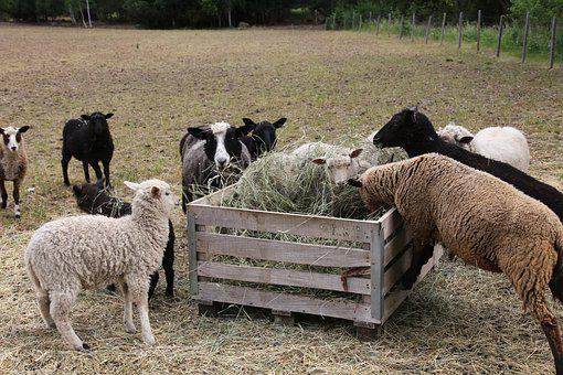 The Sheep, Villa, Lamb, Pasture, Feeding, Hay