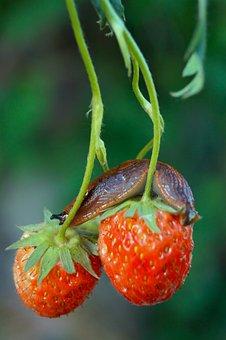 Snail, Garden, Nature, Strawberry, Grass, Slug, Spring