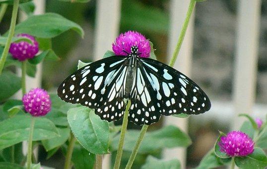 Butterfly, Tirumala Limniace, Blue Tiger, Danaid