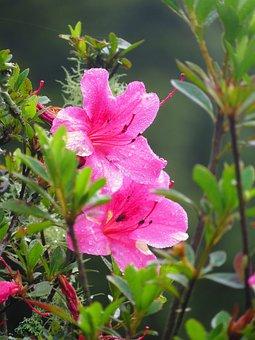 Flower, Yushan Azalea, Du 鵑 Flowers, Wild Flowers