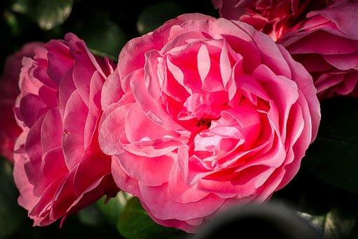 Rose, Flower, Garden, Plant, Nature, Rose Bloom