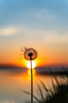 Dandelion, Sunset, Flower, Plant, Nature, Summer, Sky