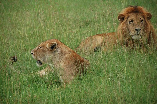 Lions, Kenya, Rest, Wild As The, Africa, Fauna