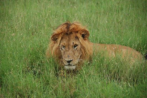 Lion, Tom, Lions, Kenya, Rest, Wild As The, Africa
