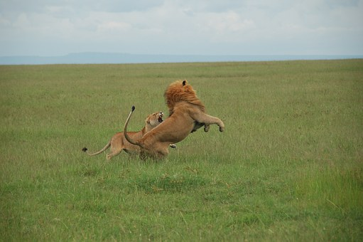 Fight, Lions, Kenya, Rest, Wild As The, Africa, Fauna