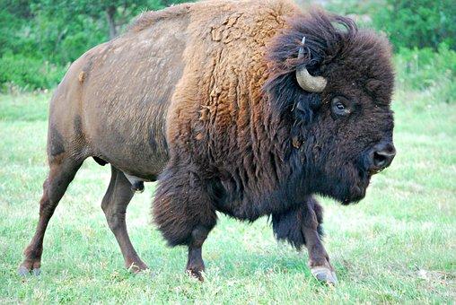 Bison, Buffalo, Male Buffalo, Animal, Nature