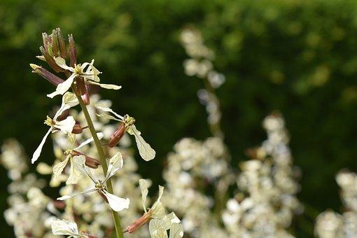 Rocket, Rucola Bloom, Arugula, Raukeblüte, Flowers