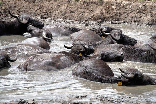 Buffalo, Animal, Mud, Take A Bath, Scot