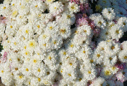 Fall Mums, Chrysanthemum, Flower, Blossom, Bloom