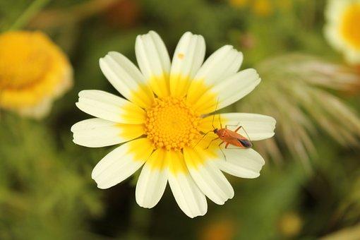 Corn Marigold, Coleostephus Myconis, Flowers, Salento