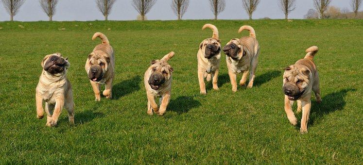 Dog, Shar Pei, Animal, Animals, Outdoor, Play, Grass