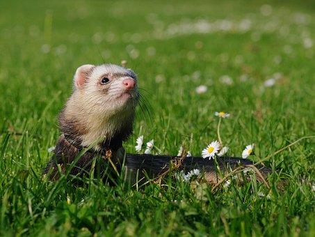 Animal, Ferret, Domesticated, Grass, Spring, Cute