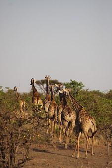 Africa, Giraffes, Safari, National Park, Animal