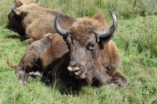 Buffalo, Knowsley Safari Park, Animal, Mammal, Horn